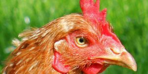 Huhn-klein